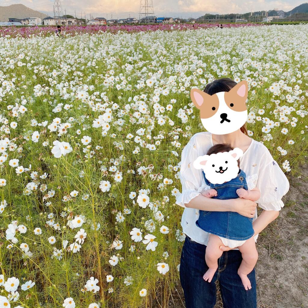 野田町コスモス畑の白いコスモス畑